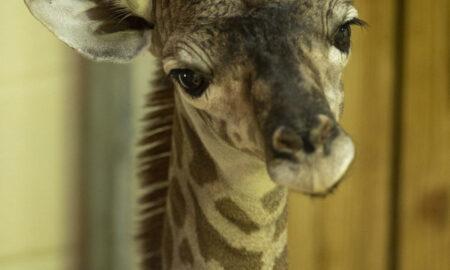 A Baby Giraffe Was Born At Disney's Animal Kingdom