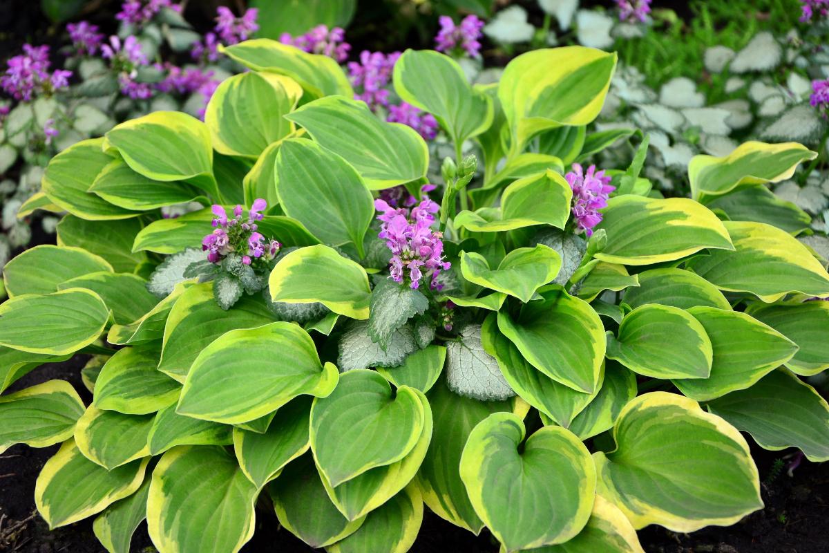 Flowering hostas with purple blooms