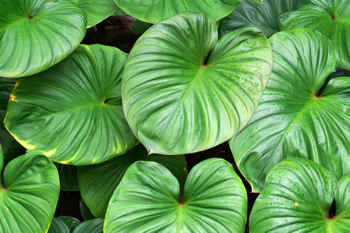 Close-up of textured hosta leaves