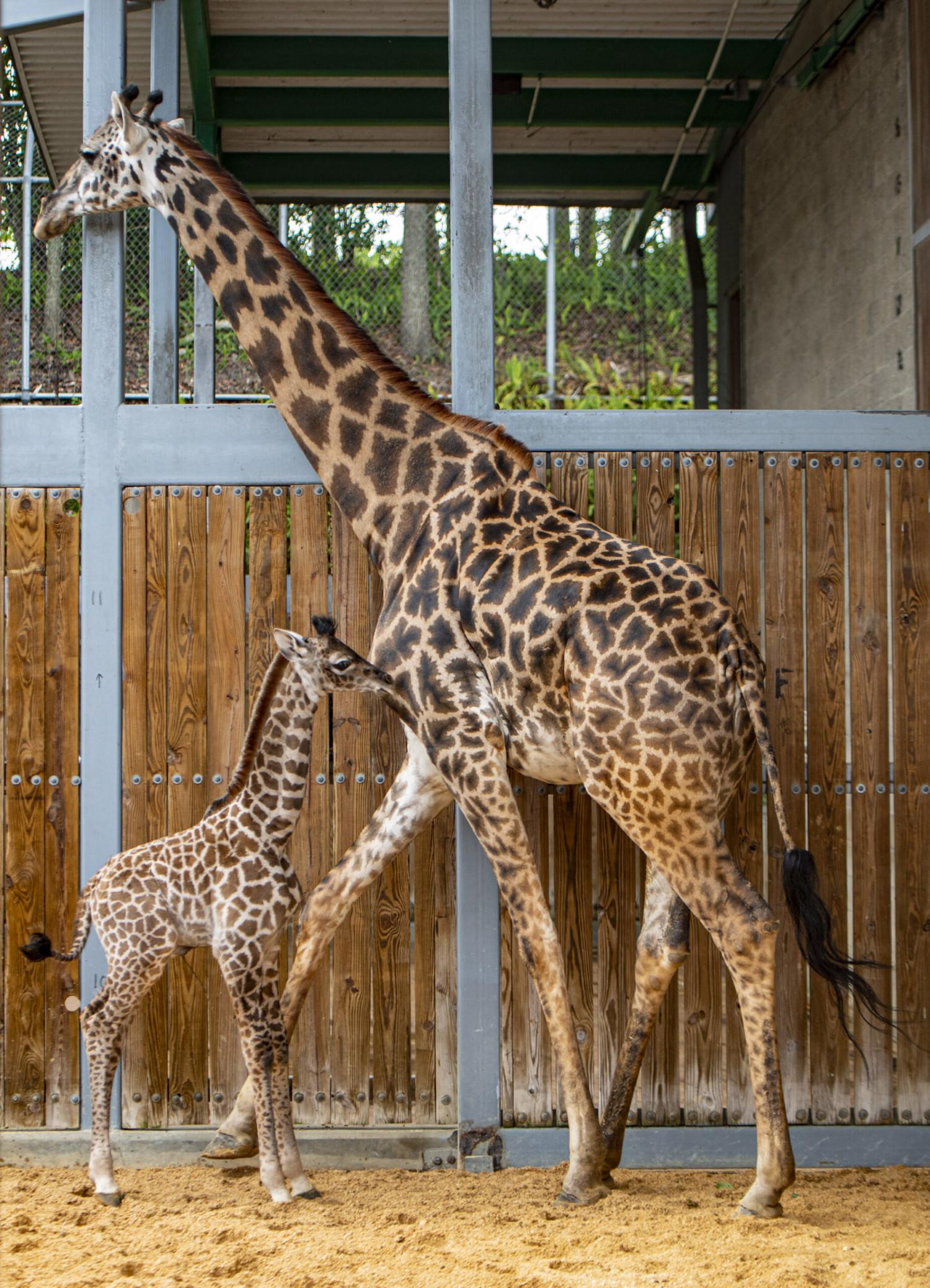 Giraffe Calf and mother Disney World Animal Kingdom