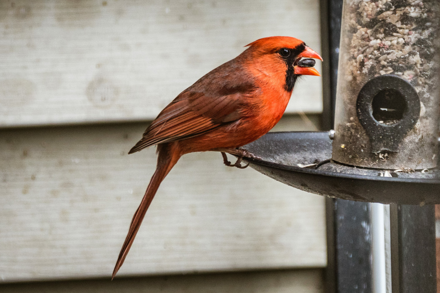 Northern Cardinal perched on bird feeder with seed